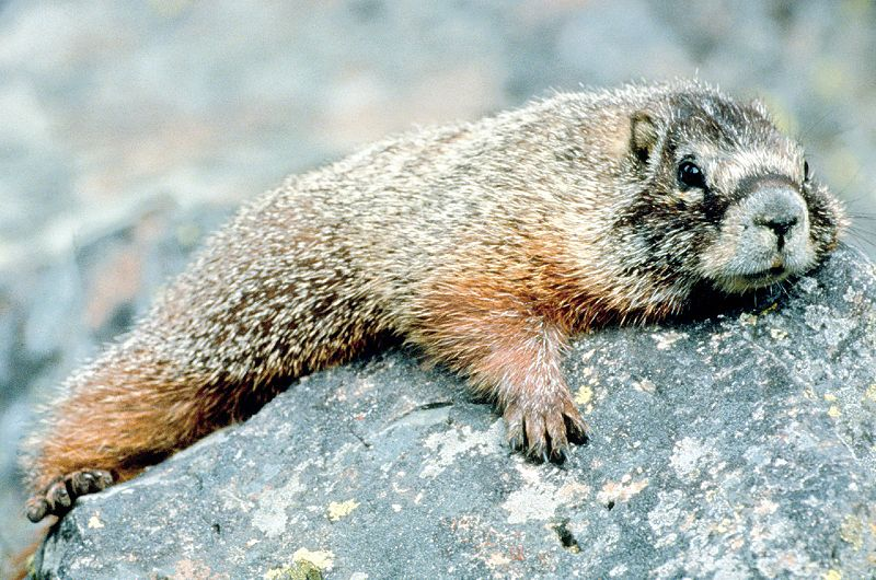 800px-Marmot_in_Grand_Teton_NP-NPS